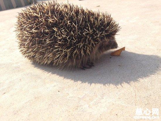 获知刺猬属国家二级保护动物